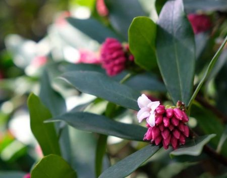 沈丁花の花です。